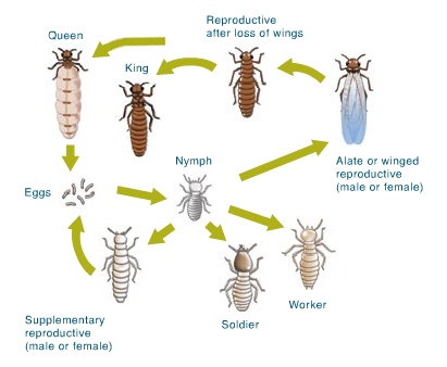 What are Termites Queen Termite Life Cycle